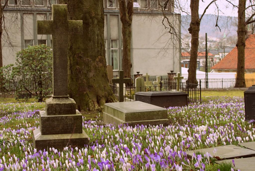 krokus på kirkegård 007