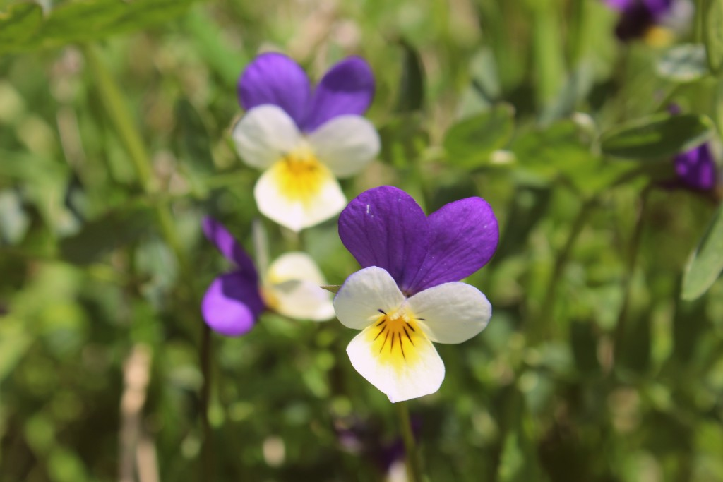 Natt og dag (blomster)